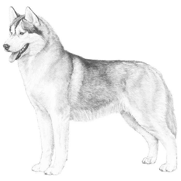 Siberian Husky Breed Standard Poliarinė Arktika
