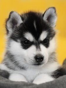 "Yngvi (""Prince"" or ""Warrior"") male 5 weeks old"